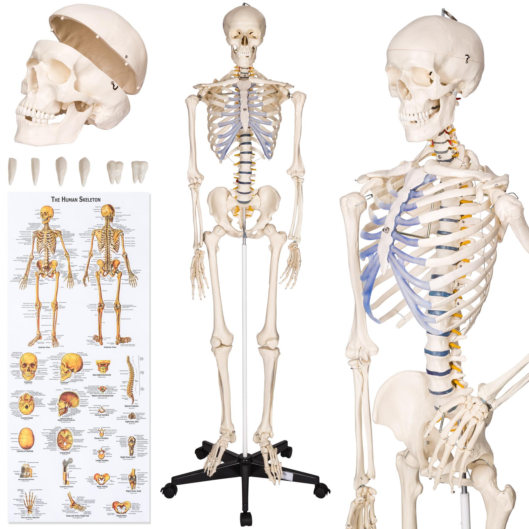 Szkielet Anatomiczny Ludzki Czlowieka Model 400502 8608348823 Allegro Pl