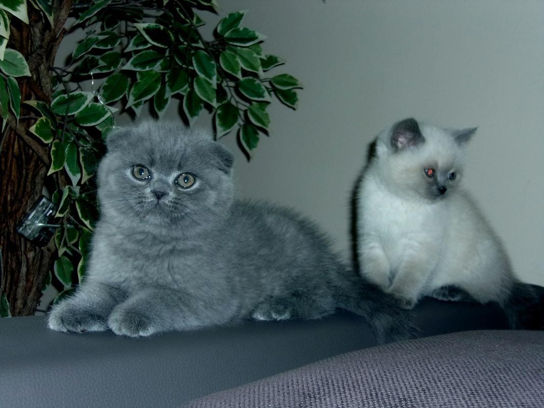 Koty Brytyjskie I Szkocki Zwisłouchy Gdansk 7363259503
