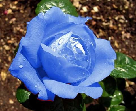 ad076e06d79af3 Róża wielkokwiatowa niebieska Blue Sky - 7224262982 - oficjalne ...