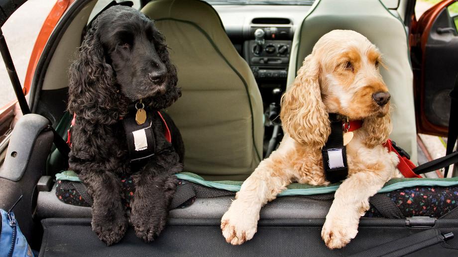 Ako prepravovať zvieratá v aute?