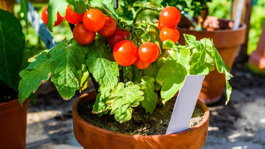 Warzywa Do Uprawiania W Doniczkach Allegropl