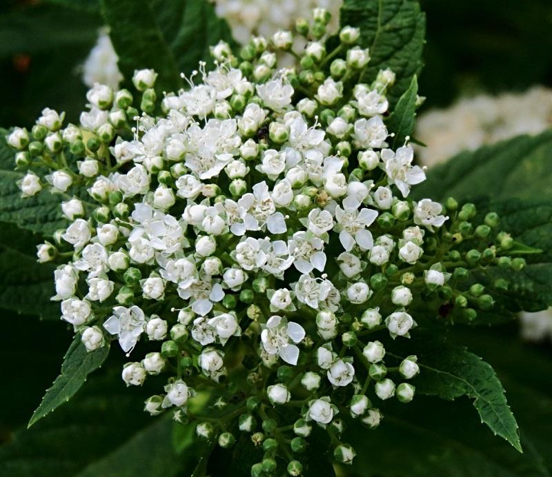 Tawula Japonska Biala Albiflora Producent 7164694861 Oficjalne Archiwum Allegro