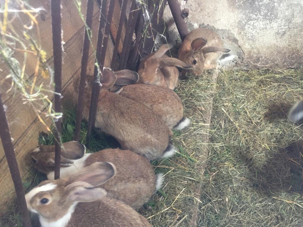 Sprzedam króliki z własnej hodowli