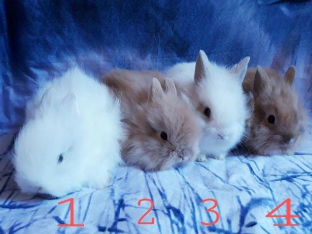 króliki karzełki królik miniaturka transport