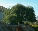 BRZOZA PŁACZĄCA YOUNGII 30-50cm P9 Rodzaj rośliny Inny