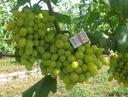 Winorośl wczesna Ludmiła art. nr 237