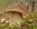 Мицелий белый ГРИБ, белый гриб, Грибы