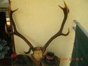 Okazałe czteropokoleniowe poroże jelenia