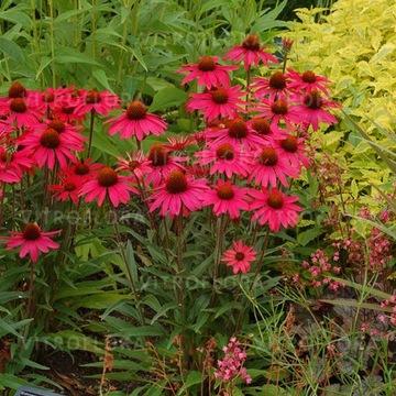 Echinacea Echinacea Fialový Med KRÁSNY 1G
