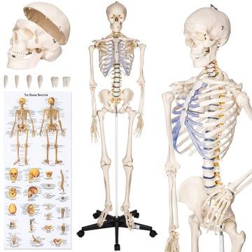Model ľudskej anatomickej kostry 400502