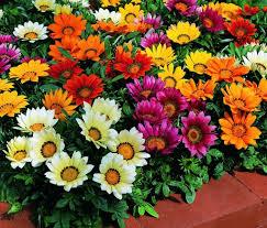GAZANIA-САМЫЙ СОЛНЕЧНЫЙ цветы НА СКИДКУ