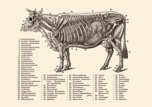Rycina Anatomia Krowy Krowa Bydło A4